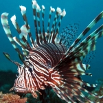 LionFish-Monkey Wreck